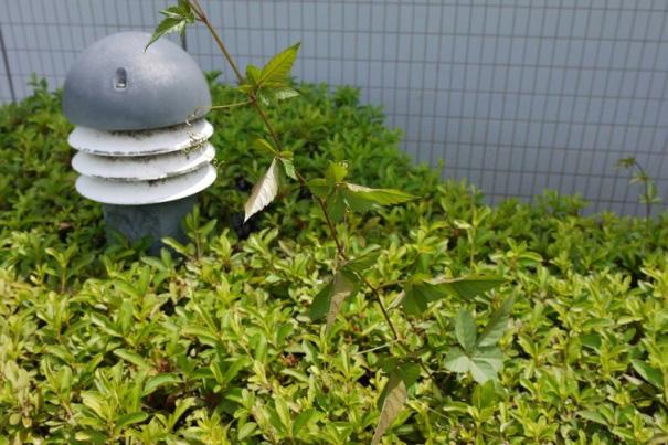 写真1:ヒョロヒョロと伸びるツタ系雑草