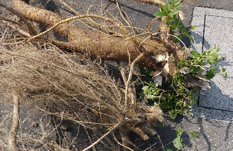 写真4:太さ10cmぐらいの根っこ群