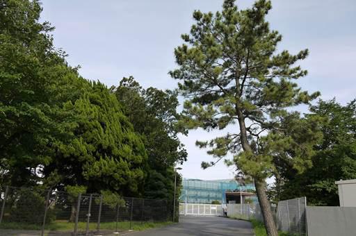 写真1:進入路にある松の木