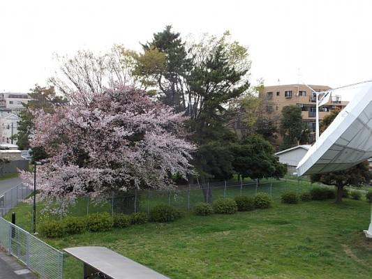 葉桜になりきらない_4月8日